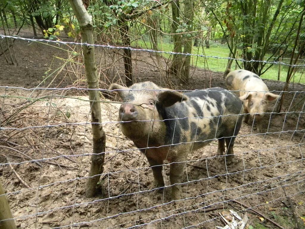 Pigs Leigh Circular