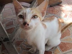 siamese(0.0), khao manee(0.0), burmilla(0.0), tonkinese(0.0), balinese(0.0), animal(1.0), small to medium-sized cats(1.0), pet(1.0), european shorthair(1.0), javanese(1.0), cat(1.0), carnivoran(1.0), whiskers(1.0), domestic short-haired cat(1.0),