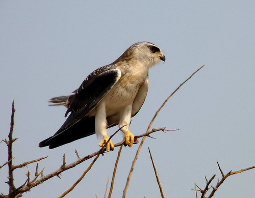 Not an eagle, but a Black-shouldered Kite. Namibia. by ronmcbride66