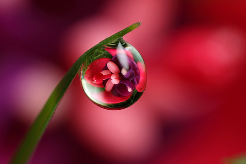 Fuchsia dewdrop refraction