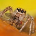 Jumping Spider - Maevia inclemens Feeding on a Fruit Fly. by VonShawn