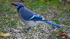 branch(0.0), crow-like bird(0.0), animal(1.0), nature(1.0), fauna(1.0), blue jay(1.0), emberizidae(1.0), beak(1.0), bird(1.0), wildlife(1.0),