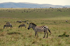 adventure(0.0), wildebeest(0.0), mustang horse(0.0), animal(1.0), prairie(1.0), zebra(1.0), plain(1.0), herd(1.0), grazing(1.0), fauna(1.0), savanna(1.0), grassland(1.0), safari(1.0), wildlife(1.0),