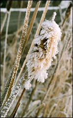 Frosted cattail