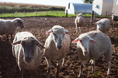 animal, farm, field, sheeps, sheep, mammal, herd, fauna, herding, pasture,