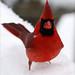 Small photo of Mr Cardinal
