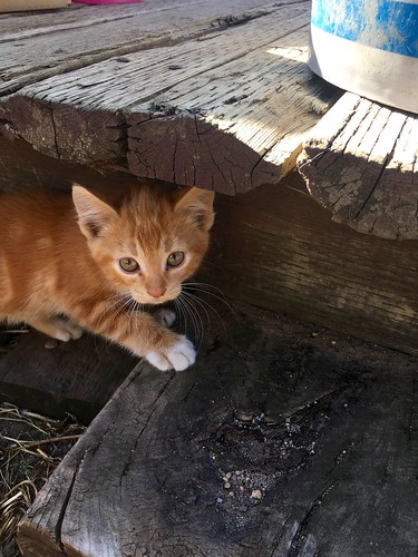 Orange kitten at the Farm