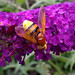 Female Volucella zonaria (a large Hoverfly) - Its about an inch long... BIG!!!!