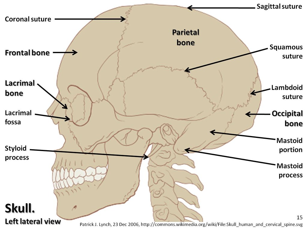 Skull diagram, lateral view with labels part 1 - Axial ...