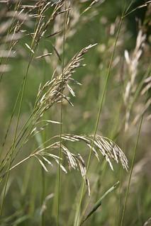 Indian grass 4581