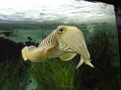 animal(1.0), cephalopod(1.0), marine biology(1.0), invertebrate(1.0), fauna(1.0), cuttlefish(1.0), underwater(1.0),