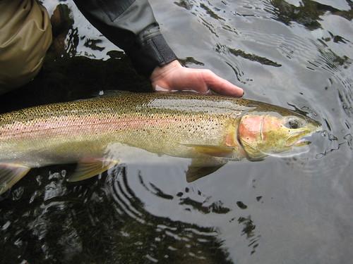 Mckenzie and willamette river summer steelhead flyfishing for Willamette river fishing report