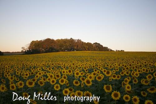 geotagged usm f4l aperture3 sunflowersef1740mm