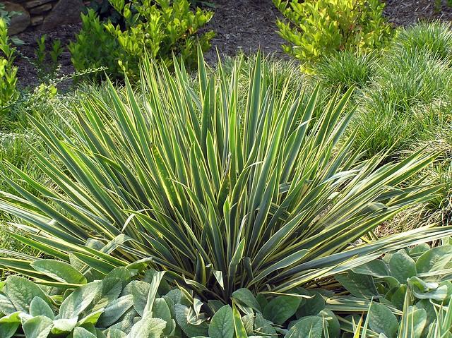 yucca filamentosa 39 bright edge 39 klr a photo on flickriver. Black Bedroom Furniture Sets. Home Design Ideas