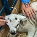 Macalester students pet a baby lamb inside the CHS Miracle of Birth and FFA Center Monday at the Minnesota State Fair. Shuttle buses ferried students from campus to the fair and back all afternoon.