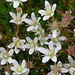 spotted saxifrage - Photo (c) Laurel F, some rights reserved (CC BY-SA)