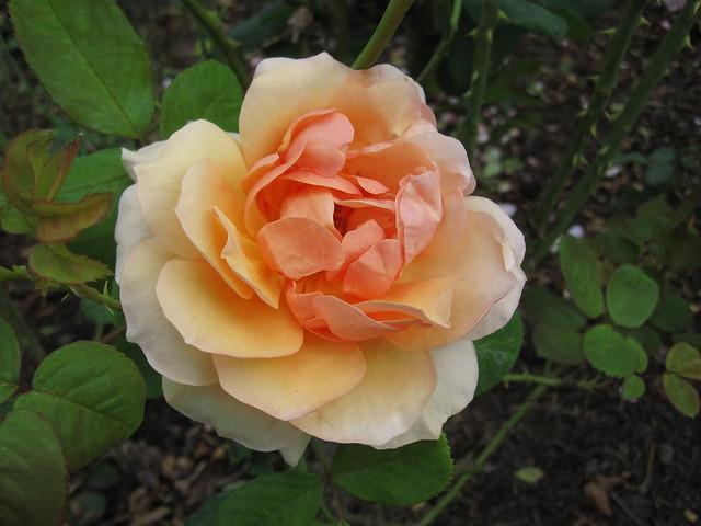 Rosa 'Norwich Castle'. Floribunda, introduced 1980