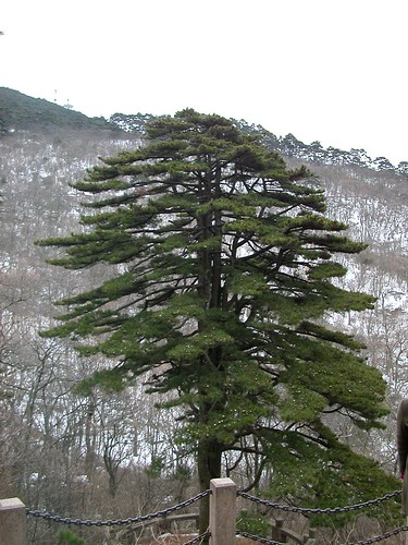 Famous Tree on Yellow Mountain
