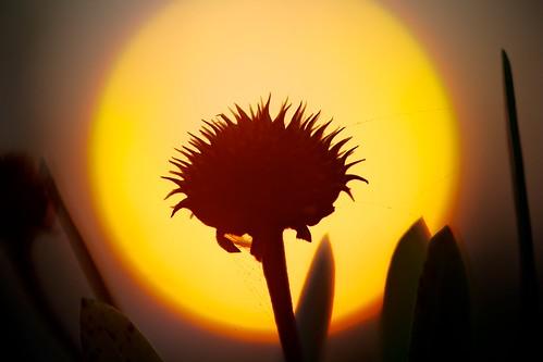 sun plant silhouette sunrise spiky outdoor spiderweb gaillardiapulchella project365 explored afsvrmicronikkor105mmf28gifed 255365