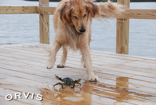 Orvis Cover Dog Contest - Shelby