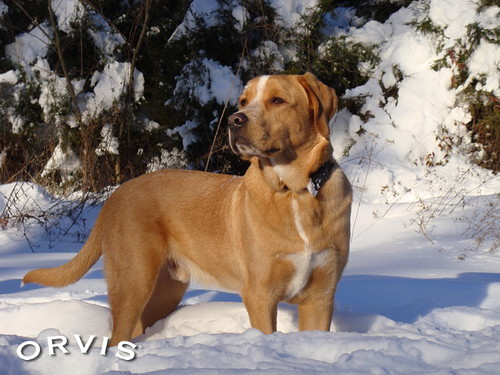 Orvis Cover Dog Contest - LOGAN