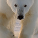 polar_bear_andyrouse_polar_bear_SV11312b_00065_00117 by wildmanrouse
