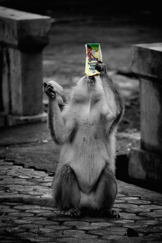 Bali Funny Image : A Monkey at Alas Kedaton, Tabanan drink milk