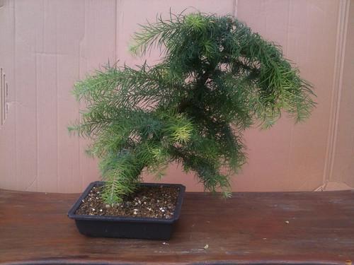 Top unique bonsai trees gallery juli 2011 for Unique bonsai trees