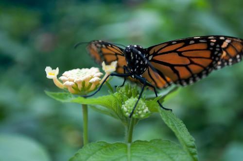 nature butterfly butterflies westfordma thebutterflyplace nikond5000