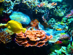 coral reef, coral, fish, coral reef fish, organism, marine biology, invertebrate, stony coral, natural environment, underwater, reef, pomacentridae, sea anemone,