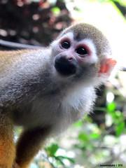 animal, primate, squirrel monkey, fauna, old world monkey, new world monkey, wildlife,