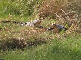 Alligators on St. Vincent Island