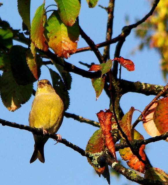 Greenfinch:Carduelis chloris, and the Autumn leaves.