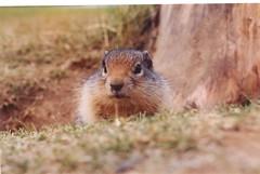 prairie dog(0.0), animal(1.0), squirrel(1.0), fox squirrel(1.0), rodent(1.0), fauna(1.0), marmot(1.0), chipmunk(1.0), whiskers(1.0), wildlife(1.0),