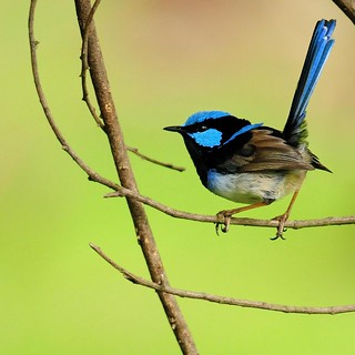 Dream a fairy wren