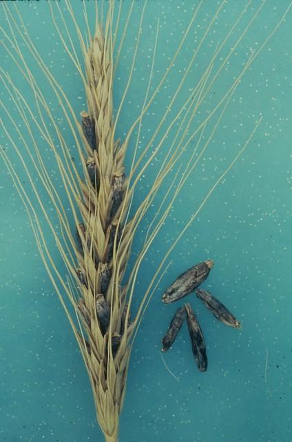 ergot on wheat spike flickr photo sharing. Black Bedroom Furniture Sets. Home Design Ideas