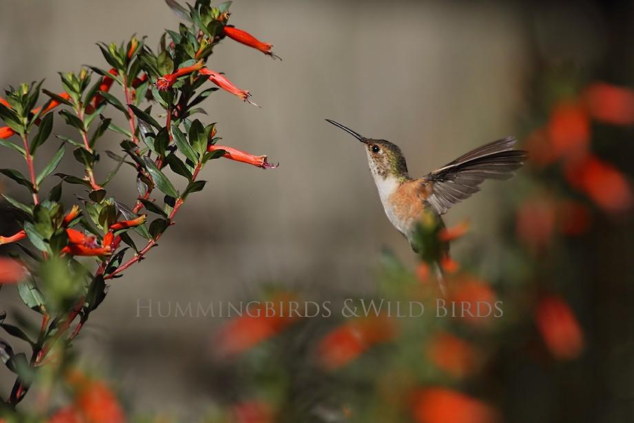 Allen's Hummingbird 10101-4