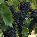 Ready for Picking - Montepulciano winery, Italy