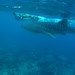 Maldives: Swimming With Whale Sharks