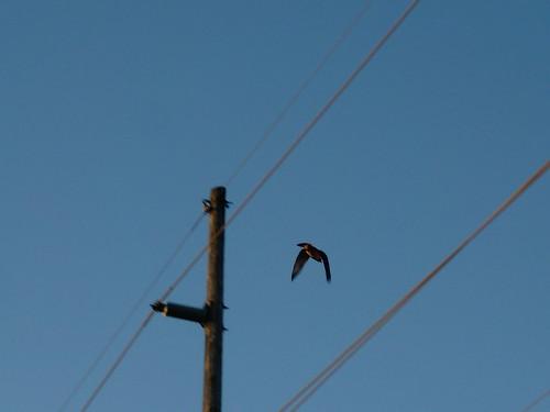 bird sunrise hawk flight