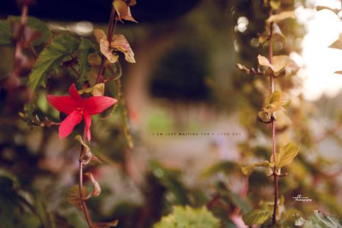 flowers sunset red nature vines bokeh saturday 365project callissacaffull