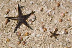 animal(1.0), sand(1.0), marine biology(1.0), invertebrate(1.0), marine invertebrates(1.0), seashell(1.0), fauna(1.0), starfish(1.0), wildlife(1.0),
