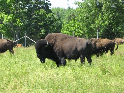 ranch canada animal buffalo farm bull meat newbrunswick bison herd bouctouche seawind