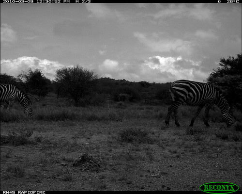 burchellszebra equusburchellii mpala taxonomy:common=burchellszebra siwild:study=mpala siwild:studyId=mpalasets siwild:plot=oljogi geo:locality=kenya siwild:trigger=oljogiseq1113 siwild:date=201003091230000 file:name=img0170jpg file:path=dpt36pt36cam14disc32bimg0170jpg sequence:index=17 otherhoovedmammals taxonomy:group=otherhoovedmammals taxonomy:species=equusburchellii siwild:location=mpala238 siwild:camDeploy=mpaladeploy687 sequence:id=oljogiseq1113 sequence:length=19 siwild:imageid=kenyapic5792 siwild:species=165 geo:lon=0348127 geo:lat=37046007 sequence:key=9 siwild:region=kenya BR:batch=sla0620101118055537