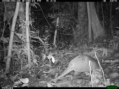 Nine-banded or Greater Long-nosed Armadillo
