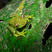 Rough-skinned Green Treefrog - Photo (c) Geoff Gallice, some rights reserved (CC BY)