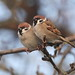 Tree Sparrows by Bird photographer