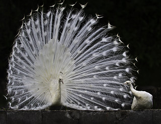 White Peacock Displays