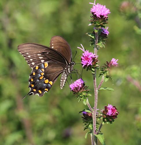 butterfly northcarolina picnik liatris papilio spicebushswallowtail blazingstar richmondcounty troilus papiliotroilus superaplus aplusphoto ultimateshot