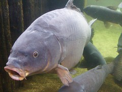 animal, carp, fish, fish, marine biology,